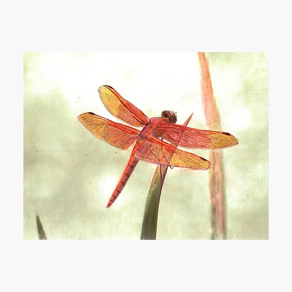 Flame Skimmer Dragonfly Photographic Print