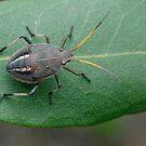 Shield Bug by Andrew Trevor-Jones
