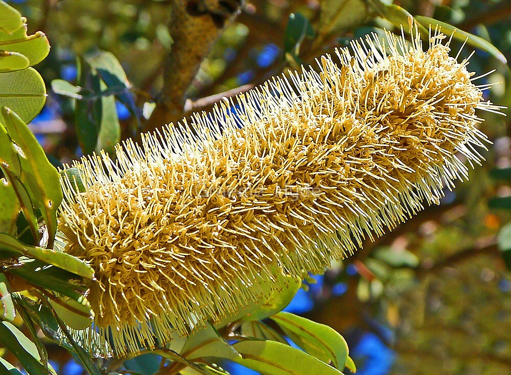 Light on the Banksia by Graeme  Hyde