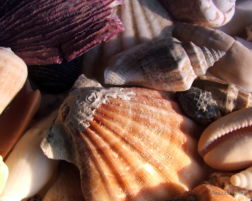 Shells by Amanda White