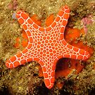 Red Brick Sea Star by Andrew Trevor-Jones