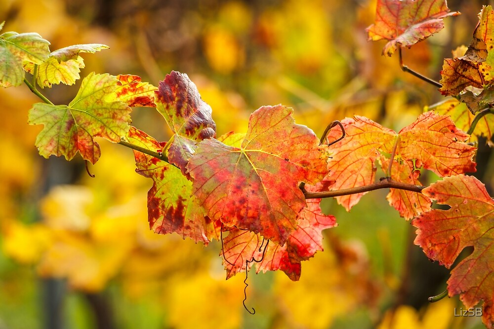 Autumn at the Vineyard by LizSB