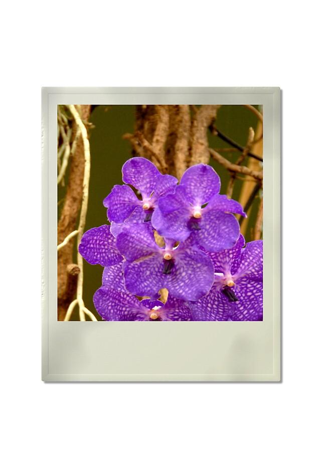 Orchid by satwant