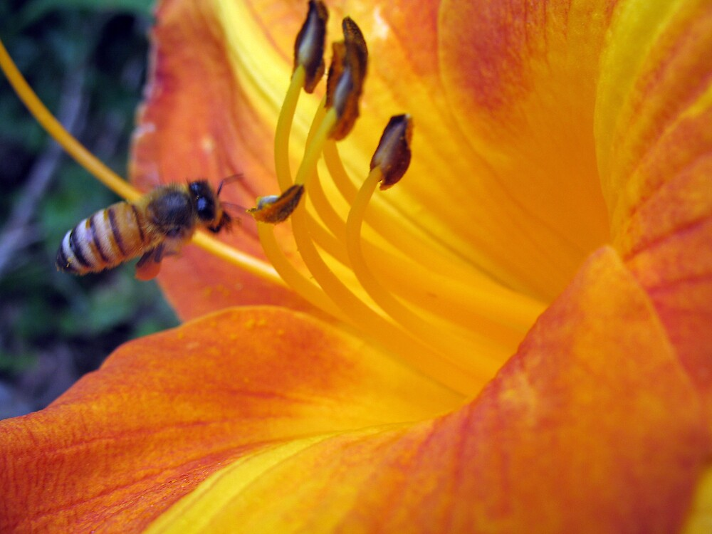 Bee...the lily by megrag53