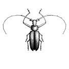 Käfer von Hand gezeichnet im Stil von Vintage-Radierungen von Viktoriia