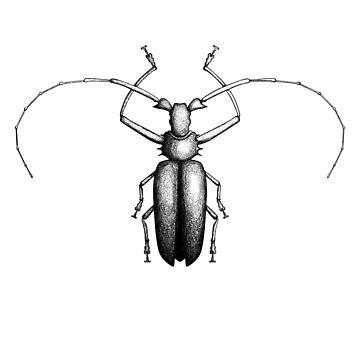 Beetle hand-drawn in the style of vintage etchings by Viktoriia