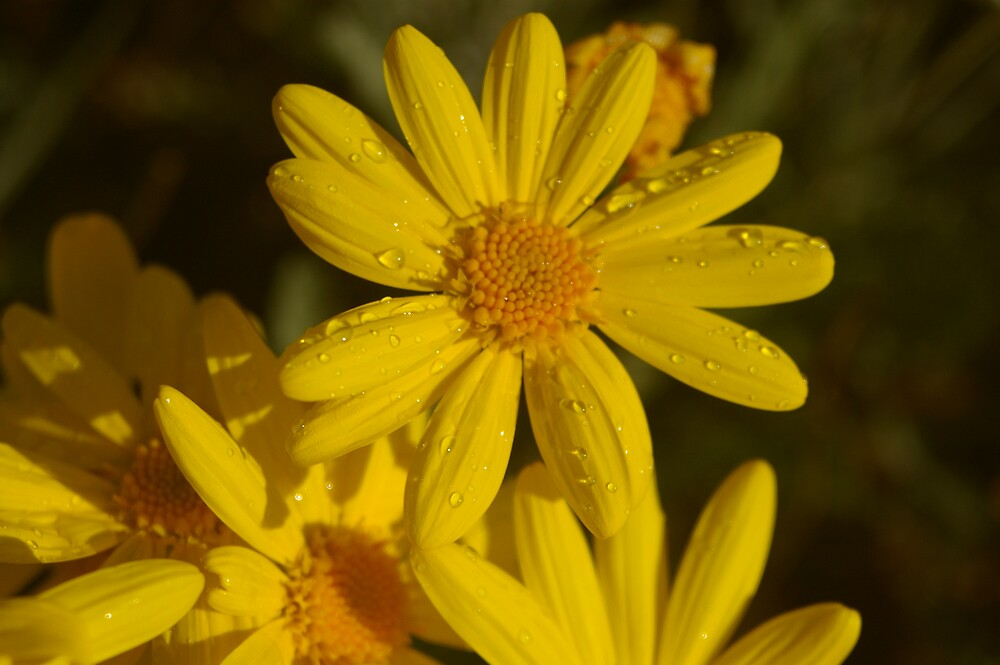 Daisy with raindrops  by janfoster