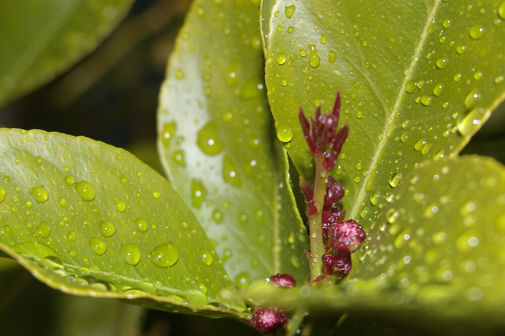 raindrops on the leaves of a lemon tree by janfoster