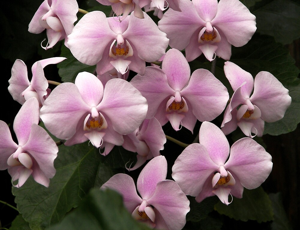 Pink Orchids  by madmac57