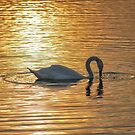 Swan on Golden Pond by Mark Greenwood