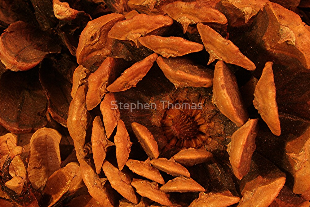 Bottom of a Pine Cone by Stephen Thomas