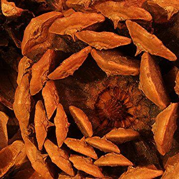 Bottom of a Pine Cone by stephenralph