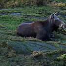 A Swedish moose by 71featherst