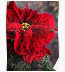 Weihnachtsstern, Winterrose Poster