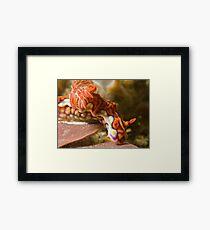 Miamira Magnifica Nudibranch Framed Print