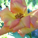 Peach Rose by Kashmere1646