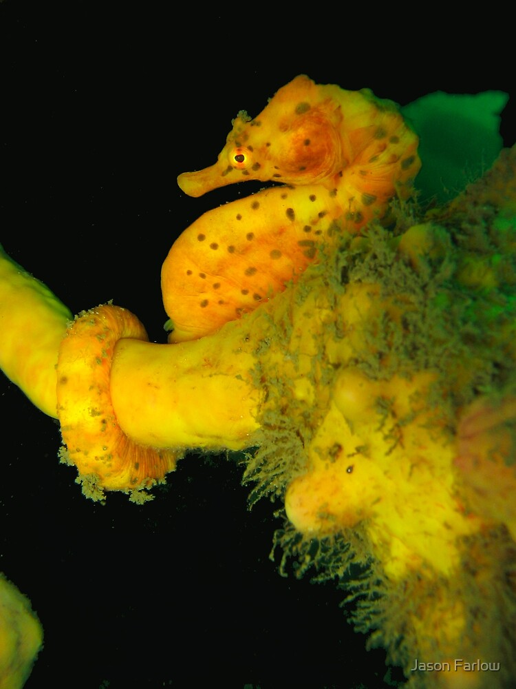 Big-Bellied Seahorse by Jason Farlow