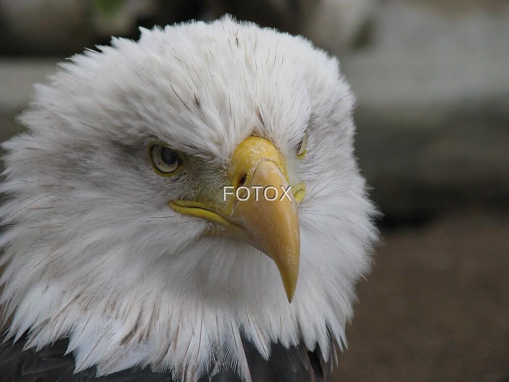 Bald Eagle (Big Bear Mountain) by FOTOX