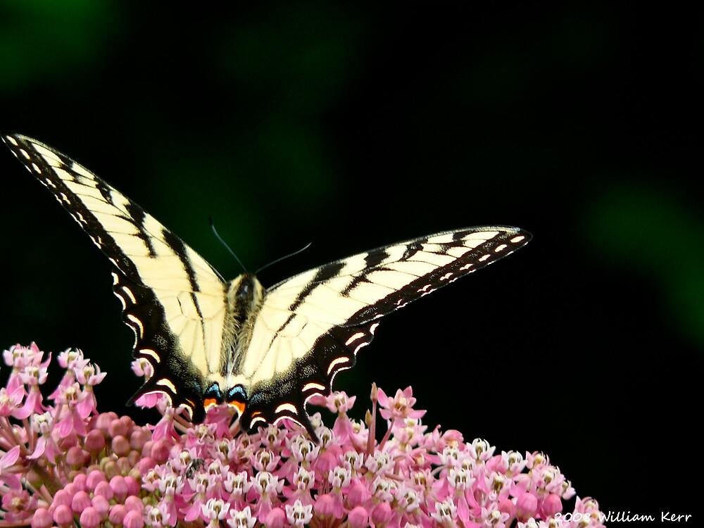 Butterfly by BillK