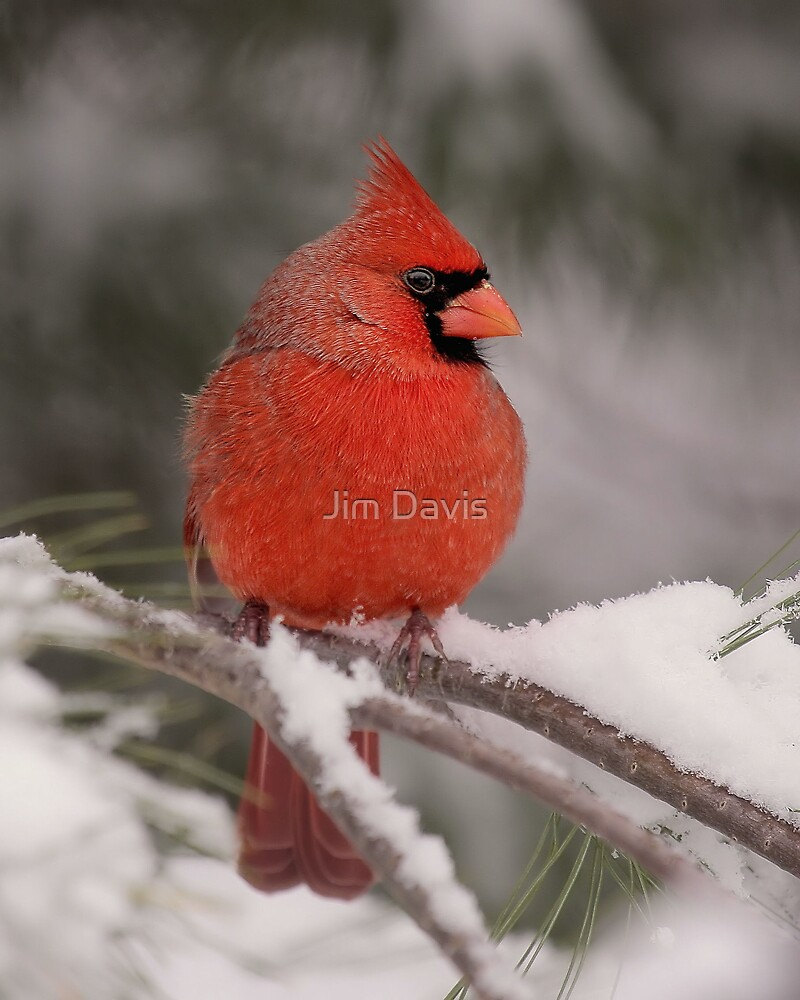 Male Cardinal In The Snow by Jim Davis