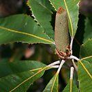 Banksia by Leesa Habener