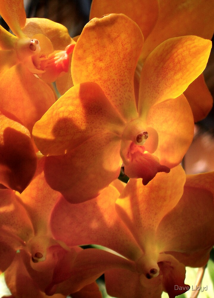 Orange Orchids by Dave Lloyd