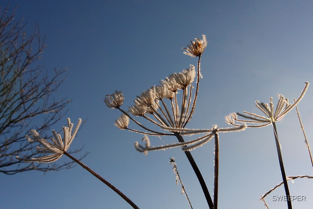 Frosted wild parsley by SWEEPER