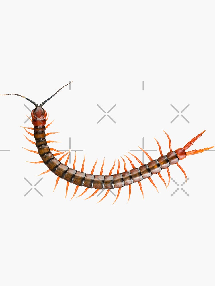 Giant Centipede Creepy Crawly by THPStock