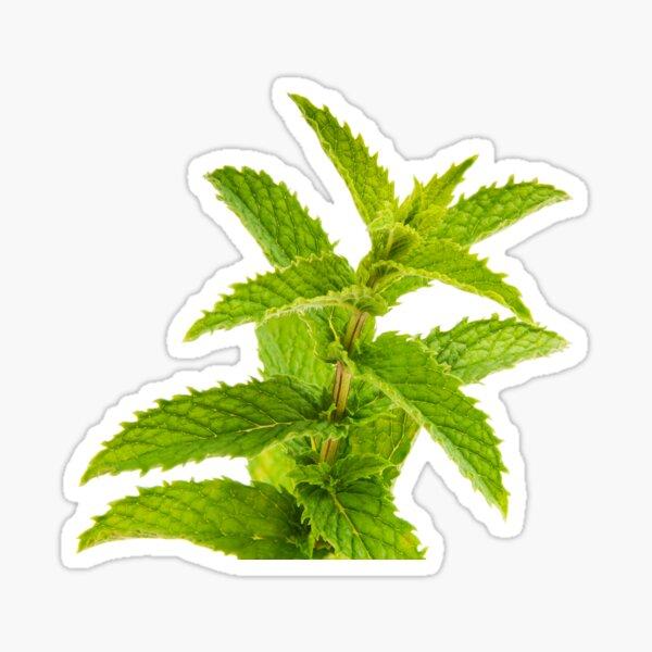 Fresh Mint Leaves Detail Sticker