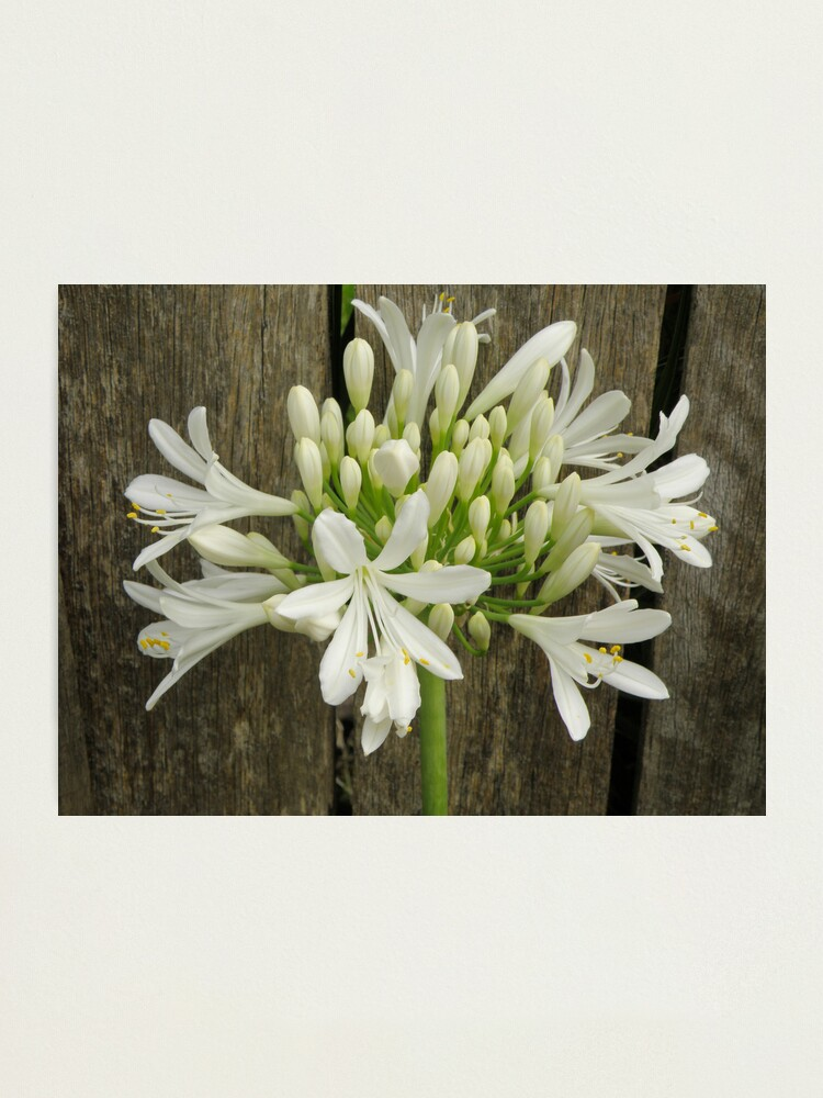 White Agapanthus Photographic Print By Capturedbykylie Redbubble