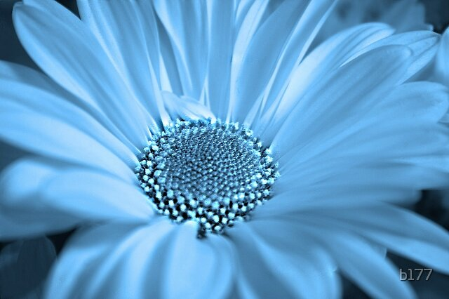 CoolDaisy by b177