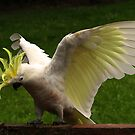 Sulphur Crested Cockatoo landing #3 by Bev Pascoe