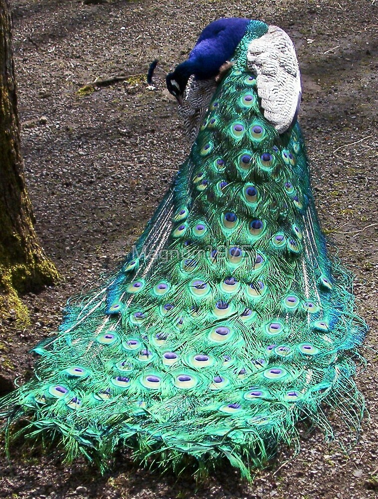 Peacock at Beacon Hill by Magnum1975