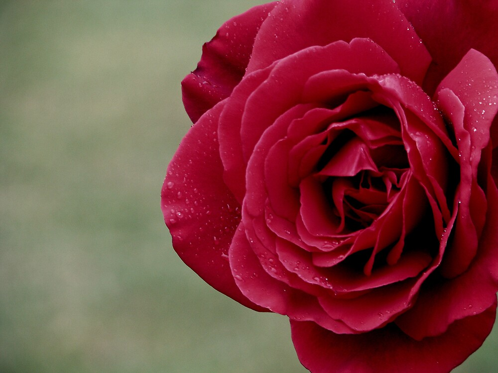 Red Rose by Robert Jenner