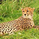 Cheetah by Franco De Luca Calce