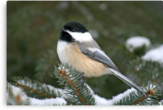 Black-Capped Chickadee by Vickie Emms