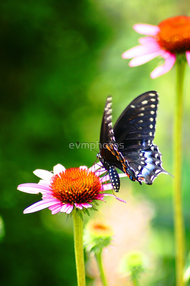 Butterfly by evmphotos