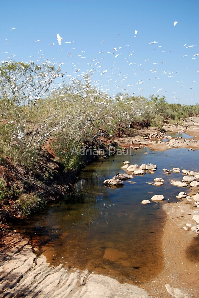 Little Corellas, Asburton River Crossing,  Western Australia (Y) by Adrian Paul