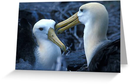 Albatros Pair on Galapagos by Dan Sweeney