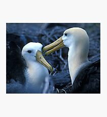 Albatros Pair on Galapagos Photographic Print