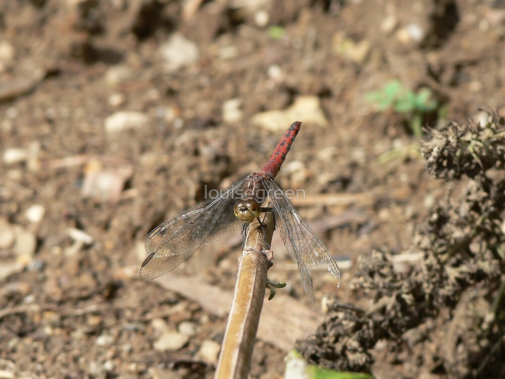 Red Skimmer by louisegreen