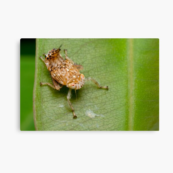 Yellow-headed Leafhopper Nymph Canvas Print