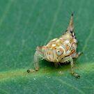 Yellow-headed Leafhopper Nymph by Andrew Trevor-Jones