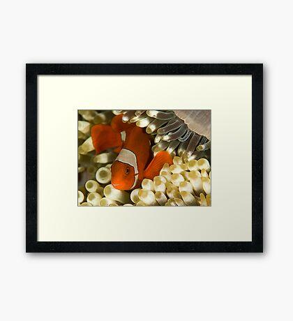 Clown Fish in Anemone Framed Print