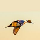 Pintail sunset by Dave  Knowles