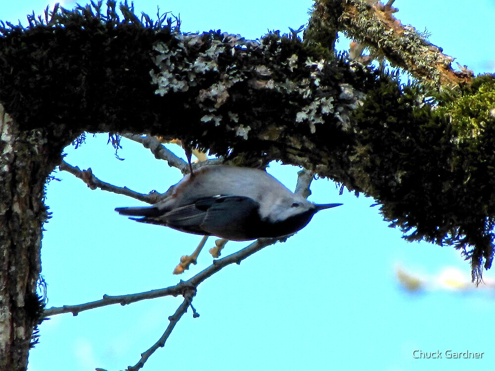 White-Breasted Nuthatch  #1 by Chuck Gardner