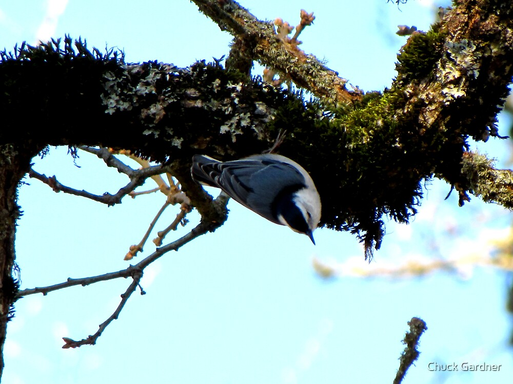 White-Breasted Nuthatch  #2 by Chuck Gardner