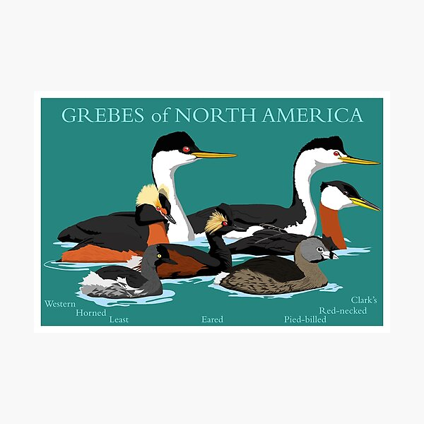 Grebes of North America (with text) Photographic Print