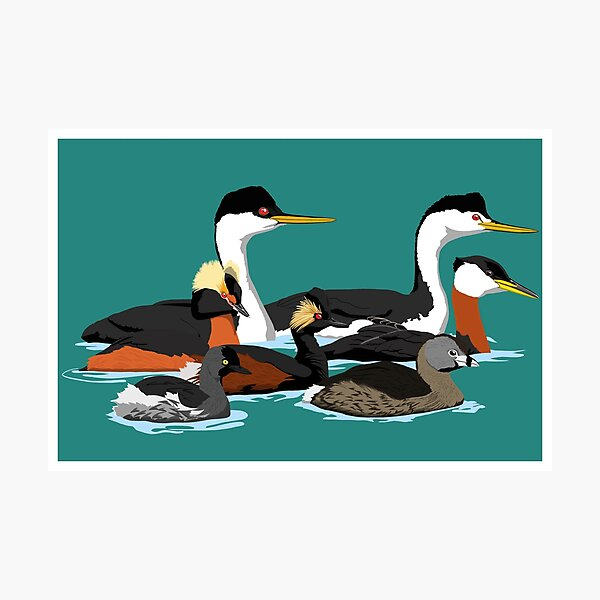 Grebes of North America (no text) Photographic Print