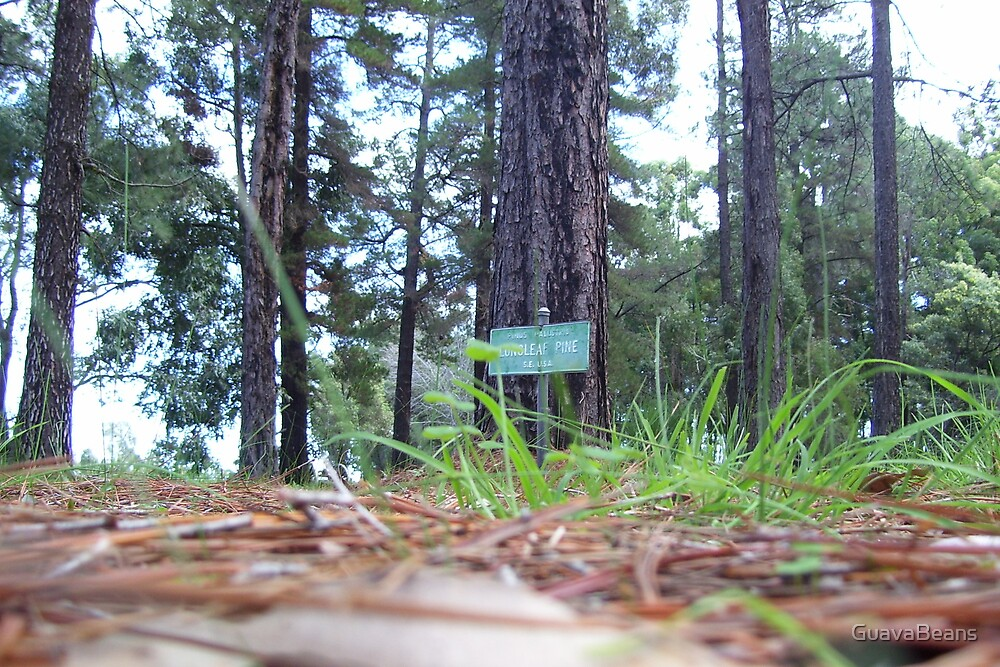 Longleaf Pine by GuavaBeans